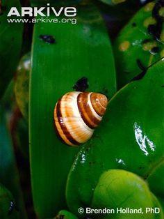 oahu tree snail -critically endangered