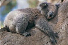 HOLD A Koala bear in Australia