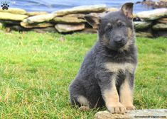 Princess, German Shepherd Puppy