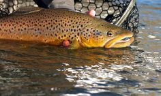 Brown trout on the fly release. Trout Fishing, Fly Fishing, Brown Trout, Central Oregon, Find Picture, Places To Visit, The Incredibles, Lifestyle, Usa