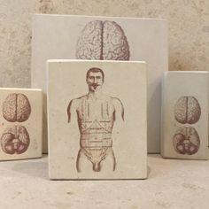 Minilitos de piedra con litografías de anatomía humana. Torso masculino. #anatomy