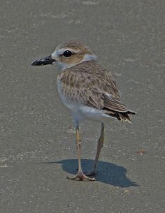 It's that time of year! Newly fledged Wilson's Plovers are running around the Georgia beaches and beginning to stage for their migration south. Taken with a Leica V-LUX 3. https://www.facebook.com/photo.php?fbid=10100623537113534=o.355103211184724=1