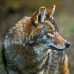 Wolf genes make the Coyotes of northeastern North America bigger and stronger than those elsewhere. Image: KITCHIN AND HURST/ALL CANADA PHOTOS/CORBIS