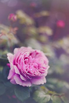 Roses from my mother garden, photographed by Sarah Gardner