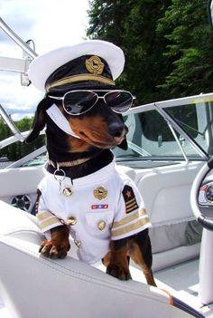 Crusoe the Celebrity Dachshund, perhaps? #teckel #dachshund #dackel