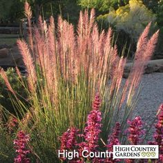 Pink Flamingo is one of the most spectacular native grasses for its big size,  thin evergreen leaves and bright pink flower plumes that cover the grass in late summer.  A heat loving hybrid discovered in Texas. Drought resistant/drought tolerant plant (xeric).