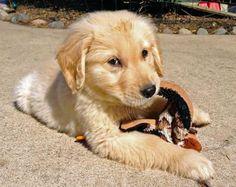 Cute Puppy Labrador his cuddly toy