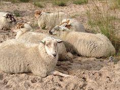 Sheep, photo made in 'de Loonse en Drunense duinen' Brabant, The Netherlands.