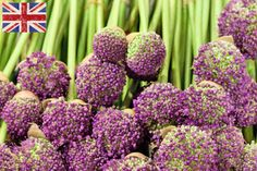 British purple alliums at New Covent Garden Flower Market - June 2014