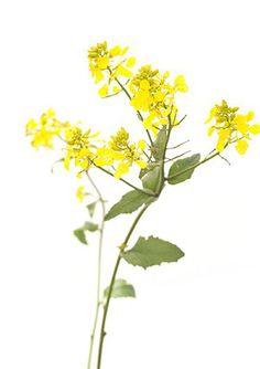 mustard-fiori-di-bach