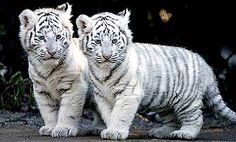 white tiger cubs - my fav big cats! Rare Animals, Cute Baby Animals, Animals And Pets, Funny Animals, Wild Animals, Animal Babies, Unusual Animals, Cutest Animals, Animals Images