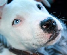 #Male #Pitbull #Names - Let's take a look at what these pitbull #namesmean and where they originate... #Bully #Bogart #Chunky #Duke #Taz  https://www.healthypetsystems.com/dogs/dog-names/pitbull-names-male-pitbull-names-female-pitbull-names/