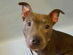 Manhattan Center CADABBY – A1057073 FEMALE, GRAY, STAFFORDSHIRE MIX, 2 yrs STRAY – STRAY WAIT, NO HOLD Reason STRAY Intake condition EXAM REQ Intake Date 11/06/2015, From NY 10457, DueOut Date 11/09/2015, Urgent Pets on Death Row, Inc