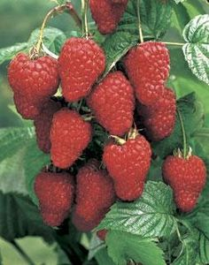 Grow your own Loganberry Plant. The loganberry plant has leaves like a raspberry, fruit-appearance of a blackberry, and a flavor that is a marriage of the two.