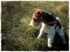 Foxterrier Doggies, Dogs, Puppys, Puppies