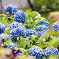 """When Endless Summer bigleaf hydrangea (Hydrangea macrophylla """"Bailmer"""") burst onto the scene in the early 2000s, it was the first hydrangea of its kind to bloom on both old wood and new stems from the current year. Before that time, similar hydrangeas bloomed only in spring on stems that withstood winter. For gardeners in northern..."""