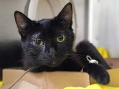 **TO BE DESTROYED 06/22/17****  BEAUTIFUL SKYE IS BEGINNER RATED AND NEEDS YOU TONIGHT!! Skye is a  friendly girl who wants a place she can call home. Her kittens have all been adopted but mom wasn't so lucky. Please make this SKYE part of your family today. MUST BE RESERVED BY NOON!