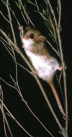 Australia- Western pygmy possum