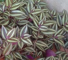 "Wandering Jew plant make a great hanging house plant or use in a flower bed to choke out weeds.  Grows like a weed in zones 9-11.  Grows well in other zones during the summer, just take cuttings and make them houseplants during the winter and return them to the yard in spring. Just put cutting 2"" in soil and gently water daily and watch em grow.  Put an end to weeding.  Just trim the overgrowth with scissors and toss them in another flower bed and they will take off there.  Couldn't be…"