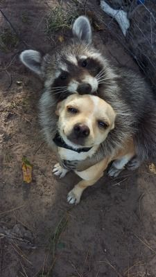 The dog is scared, raccoons can kill dogs. Funny Animal Memes, Funny Animal Pictures, Cute Funny Animals, Cute Baby Animals, Animals And Pets, Funny Memes, Chihuahua, Cute Puppies, Cute Dogs
