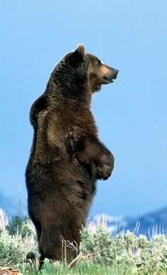 Grizzly standing tall. #Bear #Grizzly