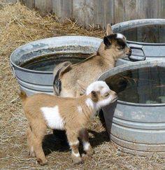 Adorable baby goats.