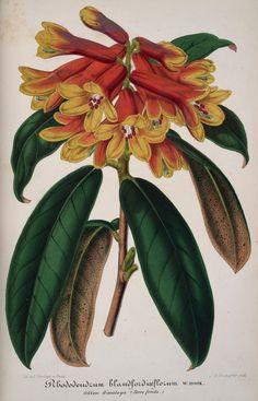 v.3 (1856) - L'Illustration horticole : - Biodiversity Heritage Library