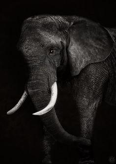 Photo Elephant, Elephant Artwork, Elephant Images, Elephant Face, Elephant Pictures, Elephants Photos, African Elephant, African Animals, Elephant Photography