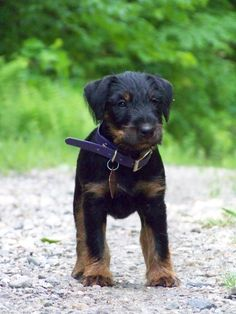 Terrier Breeds, Terriers, Dog Breeds, Doggies, Dogs And Puppies, Dog Hoodie, Hunting Dogs, Dog Coats, Dog Harness
