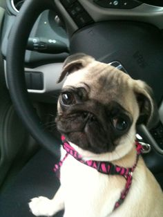 Little pug is ready for a car ride