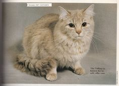 Chantilly - in 1997 Cat Fancy Issue Contributer: Sarah Hartwell Fancy Cats, Cat Breeds, Cats And Kittens, Cat Stuff, Animals, Album, Medium, Coat, Cats
