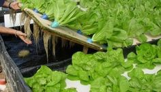 The Easy Off-Grid Way To Start An Aquaponics System #hydroponicseasy