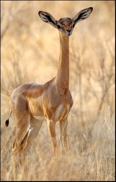 The gerenuk, Litocranius walleri, also known as the Waller's gazelle, is a long-necked species of antelope found in dry thorn bush scrub and desert in East Africa, from Somalia, Djibouti and eastern Ethiopia through northern and eastern Kenya to northeastern Tanzania.