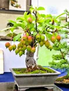 DUANG DUANG (LUCKY) BONSAI FRUIT TREE.................!