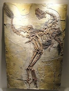 Caudipteryx zoui, feathered dinosaur plate, Early Cretaceous, Yixian Formation, Liaoning, China - Houston Museum of Natural Science - D...