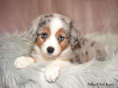 Australian Shepherd Puppies, Aussie Puppies, Kittens And Puppies, Cute Dogs And Puppies, Baby Puppies, I Love Dogs, Pet Dogs, Dog Cat, Teacup Puppies