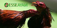 Pada kesempatan kali ini kami sebagai salah satu agen judi sabung ayam online akan membahas tentang Cara supaya agar selalu menang bermain sabung ayam. Filipina, Bangkok, Rooster, Live, Roosters, Chicken