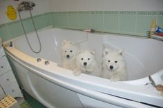 Cuties #Samoyed