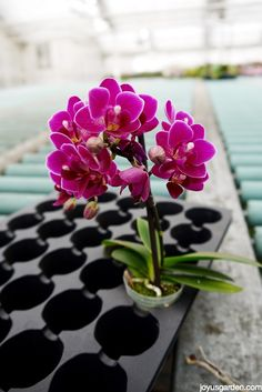 How To Care For Your Beautiful Phalaenopsis Orchid - a mini Phal.