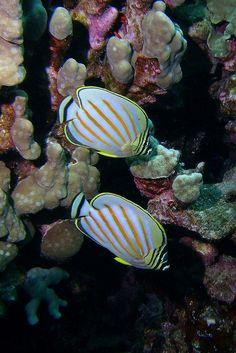These Butterflyfish here look so pretty! A tail inspired by the striped body's would be so pretty and it would have to have a sunrise inspired fluke ;) ~mer miah
