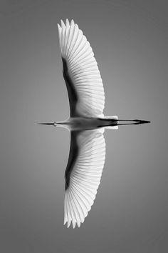 Swan Wings in Flight..