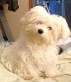 Coton Tzu Coton De Tulear Shih Tzu Puppy Ocd Dogs Mixed