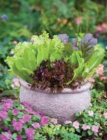 Lettuce and other edibles used decoratively in containers #food #vegetable #yard #gardening
