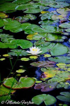 Lilypads in Lake Mary, Fl. 2014 Photo by: Michele Farfan-Hodge
