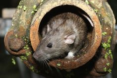Every year, Orkin creates a list of the countries most rat infested cities, and this year, Detroit is ranked ninth. Not only did Detroit make...
