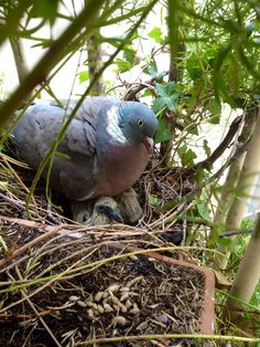 A wood pigeon father sits with his babies, about 5 days old, in the nest. Photo by Dora Maltz.