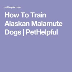 How To Train Alaskan Malamute Dogs | PetHelpful