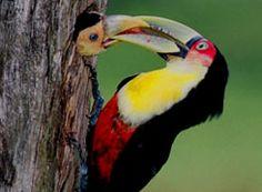 Tucano alimentando o filhote  Floresta Amazônica
