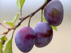 Learn how to plant, grow, and harvest plums with this growing guide from The Old Farmer's Almanac.