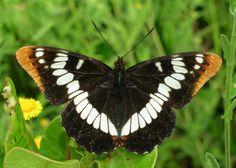 Lorquin's Admiral butterfly, Limenitis lorquini Host plants/nectar plants: choke cherry, oceanspray, scouler's willow, oregon white oak.